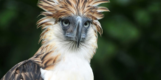 Philippine Eagle Tour